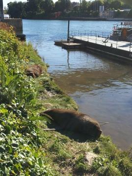 Valdivia Riverfront Sea Lions