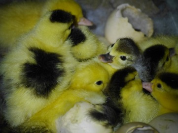 Ducklings hatched during our stay!