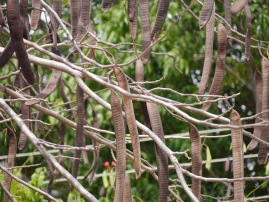 Acacia Seed Pods