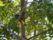 Venezuelan National Bird