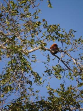 Red Howler Monkeys